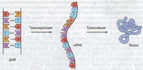Транскрипция (биология) - transcription (biology) - qwe.wiki
