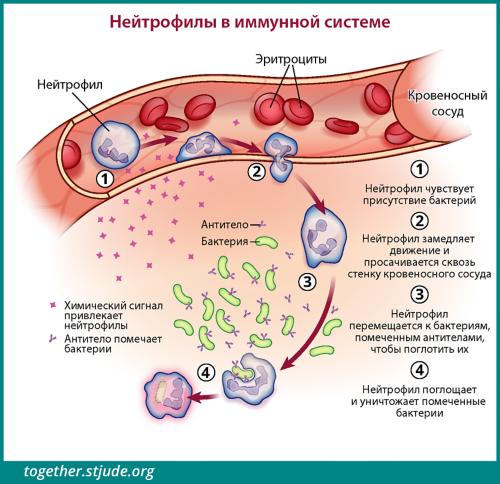 Паразиты— это патогенные микроорганизмы: основные характеристики, виды, клиническая картина и лечение