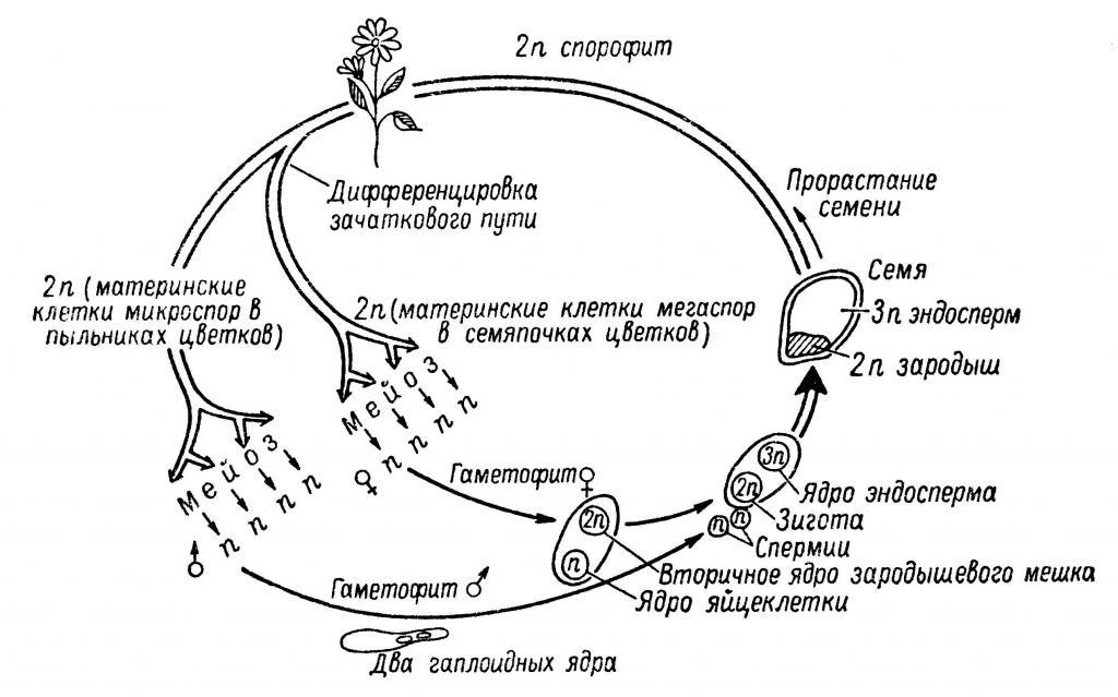 Особенности строения семян - полная информация
