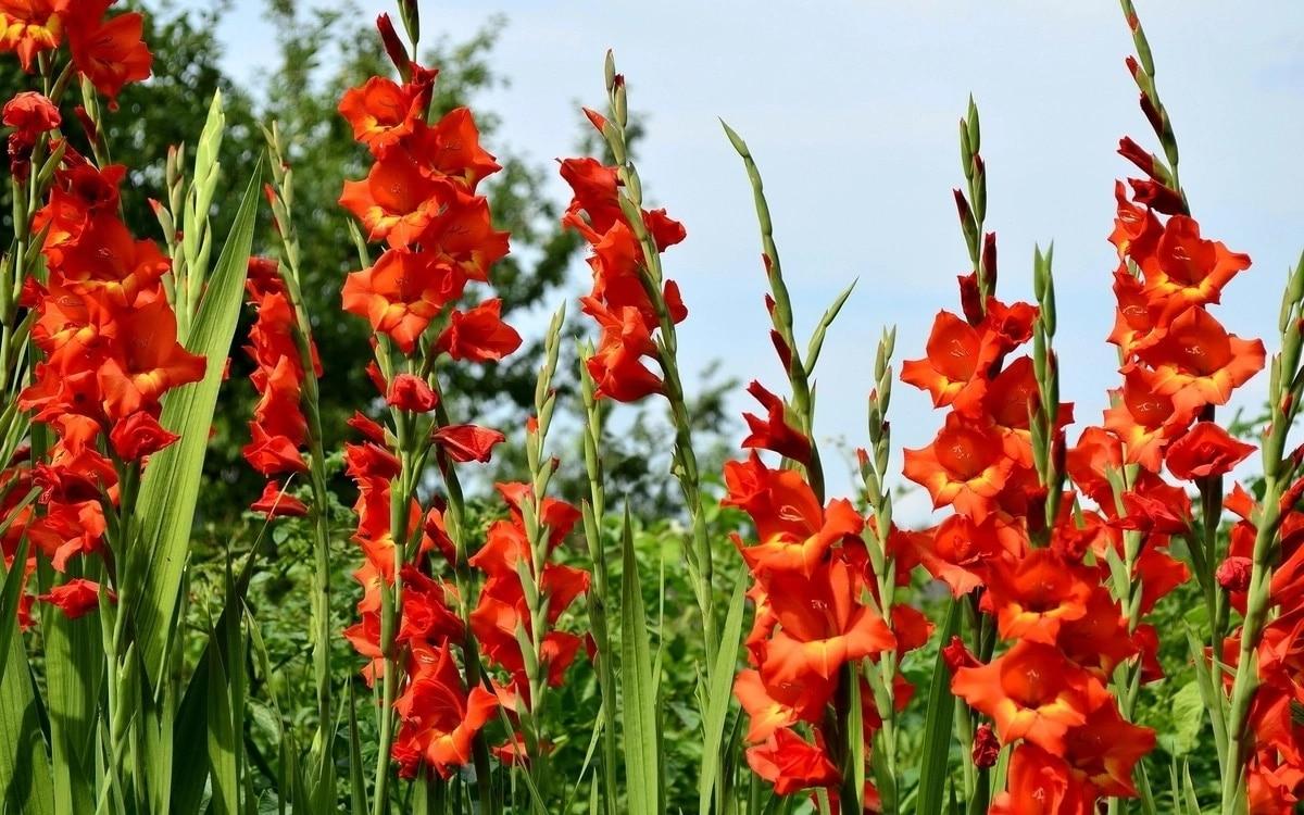 Гладиолус — цветок-меч