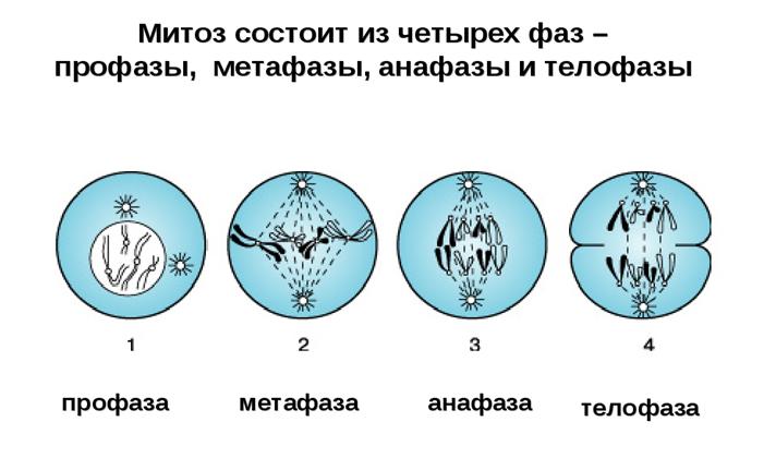 Митоз и мейоз – кратко и понятно об отличиях