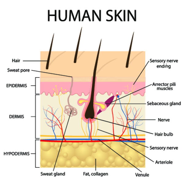 Кожа человека: самый большой по площади орган. строение и функции кожи. уход за кожей