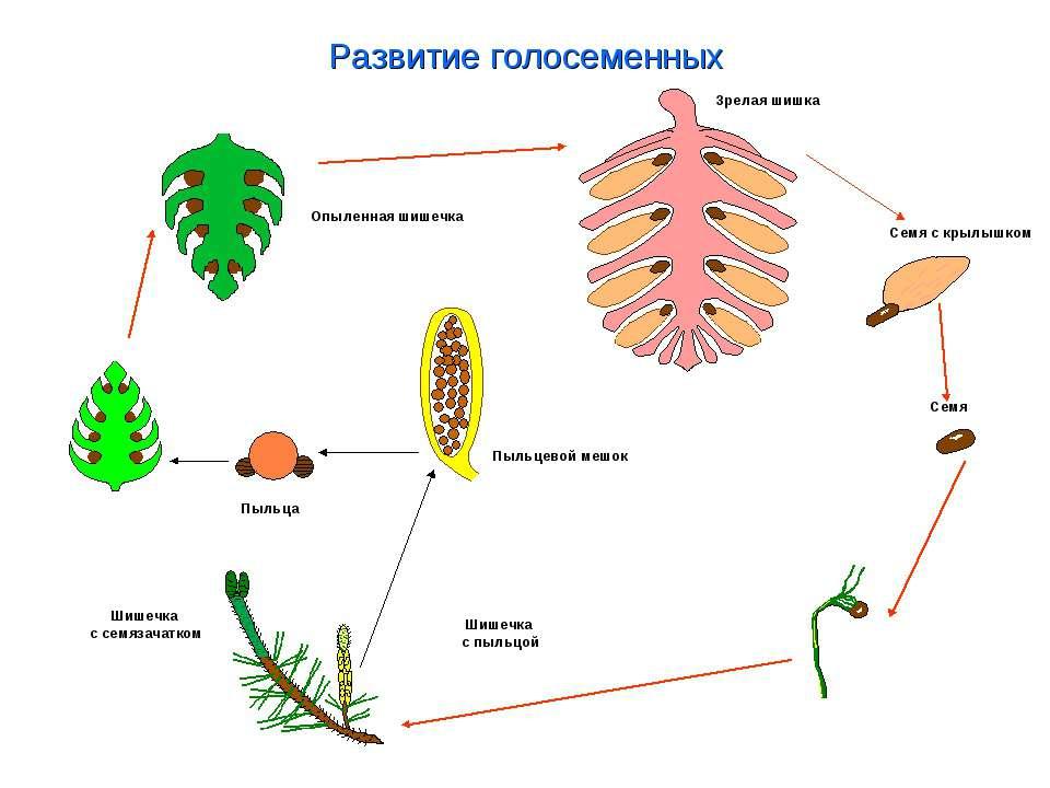 Голосеменные растения — общая характеристика и примеры