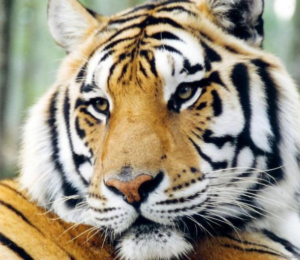 Тигр – описание, ареал, питание, подвиды, размножение, враги, фото и видео  - «как и почему»