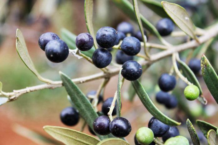Оливки: польза и вред для организма - свойства для женщин, рецепты блюд