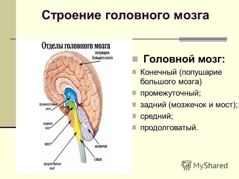 Головной мозг человека: функции, строение, оболочки