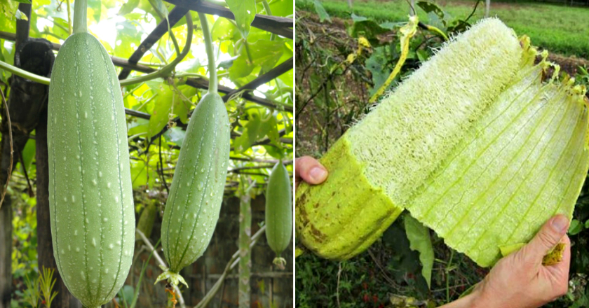 Съедобная мочалка. чем она полезна и как её вырастить? | растения