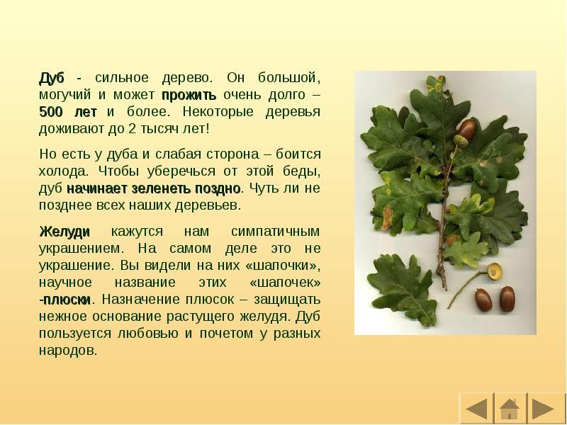 Описание растения дуб с фото и видео: разновидности, как и где растет в россии, выращивание