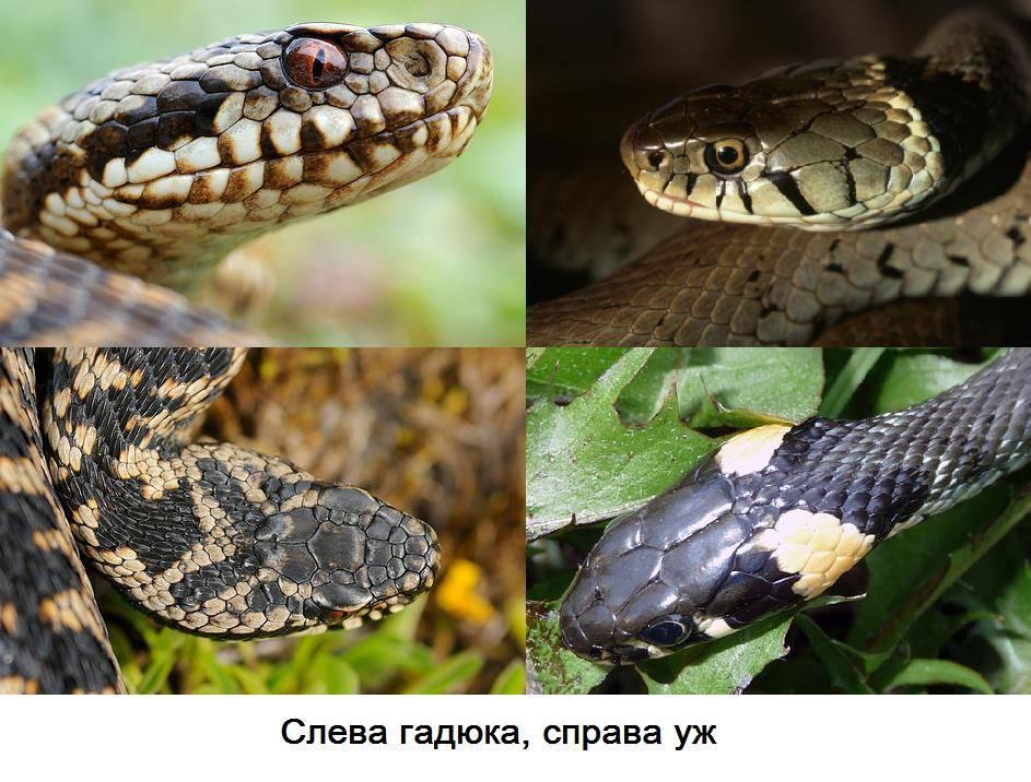 Змеи — википедия. что такое змеи