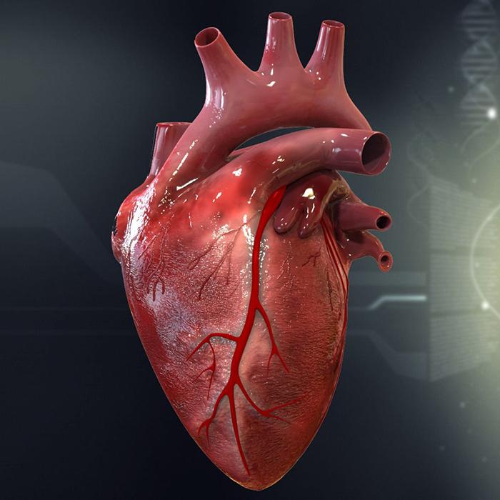Сердце - это что такое? что представляет собой сердце человека?
