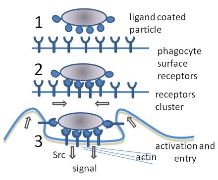 Что такое фагоциты и какова их роль в организме