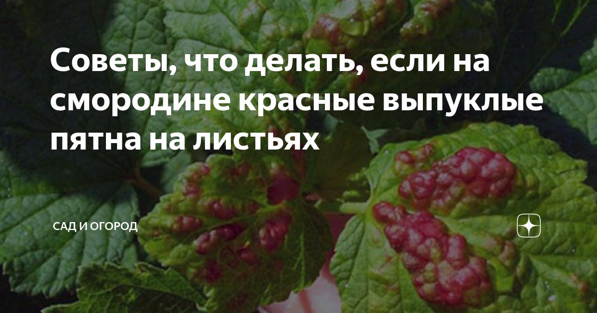 Красные пятна на листьях смородины: почему появляются и как избавиться | в саду (огород.ru)