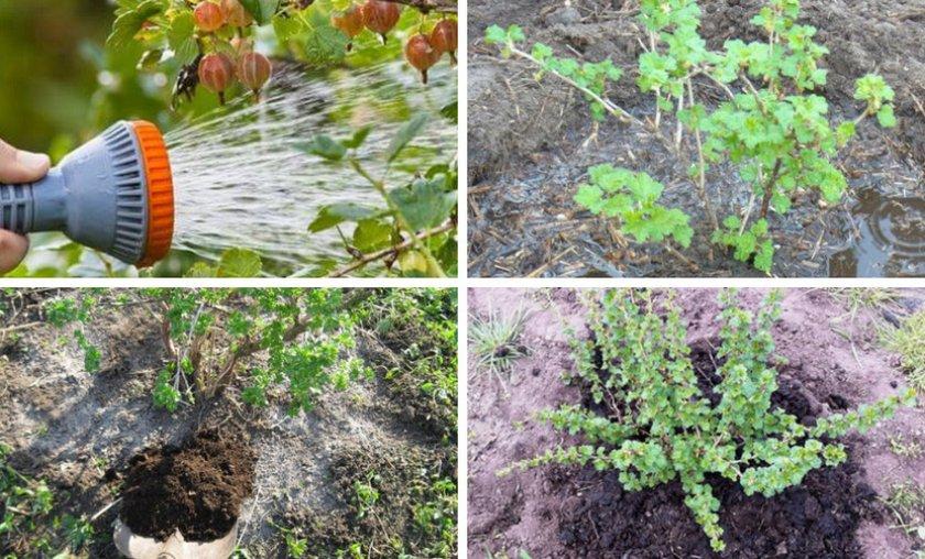 Малиновое дерево таруса: посадка и уход, описание и характеристика сорта малины, достоинства и недостатки с фото и отзывами