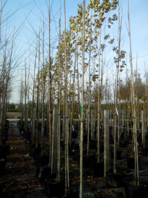 Подвои для плодовых деревьев, выращивание и размножение