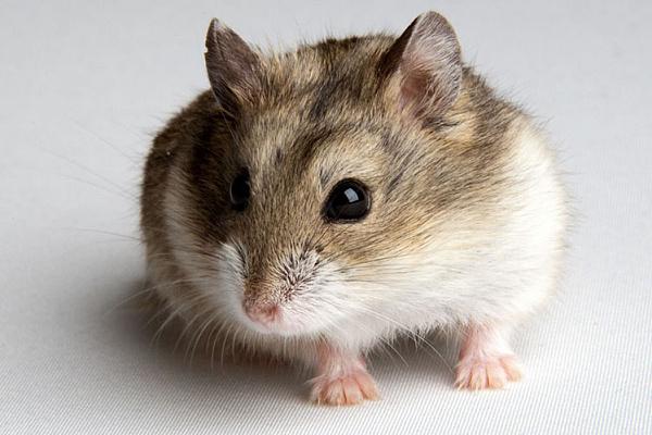 Хомяк - hamster - qwe.wiki