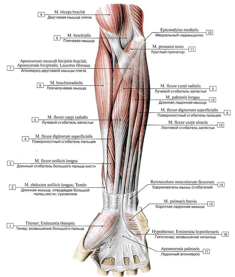Где находится предплечье: его анатомия и травмы | vseoallergii.ru