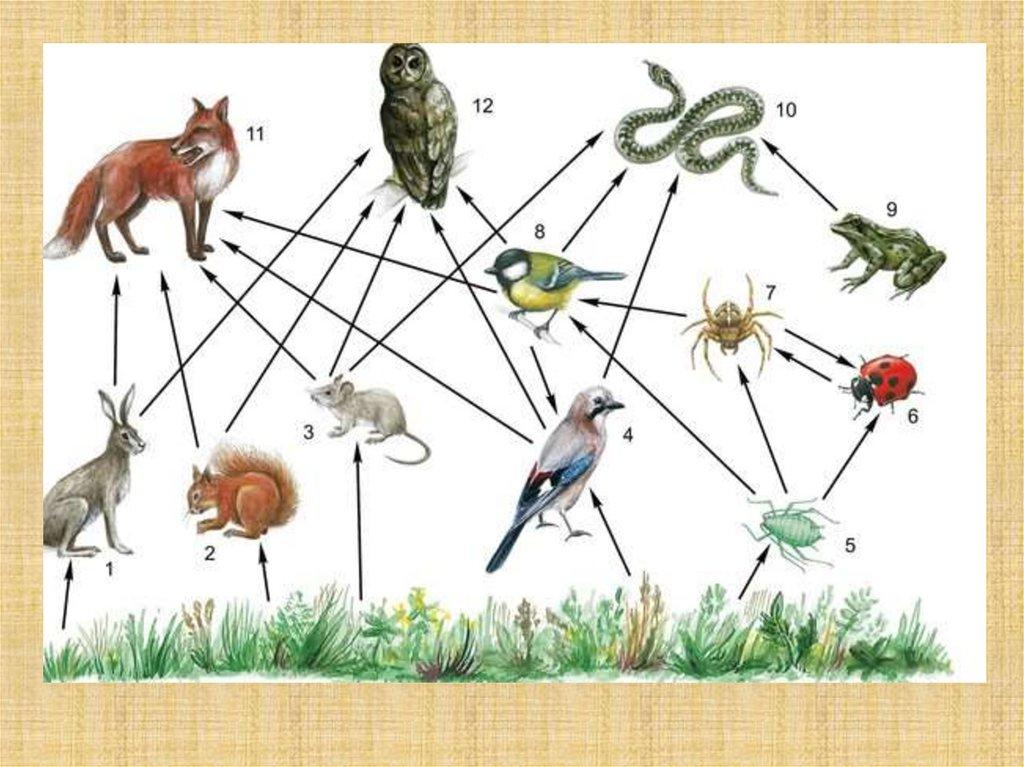 Пищевая цепь - характеристика, типы, схема, звенья и примеры