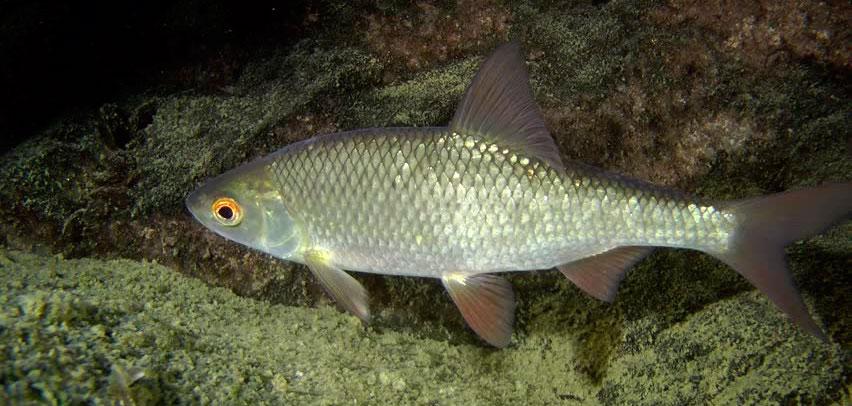Рыба плотва, чебак, сорога: чем питается плотва, отличия, подвиды плотвы