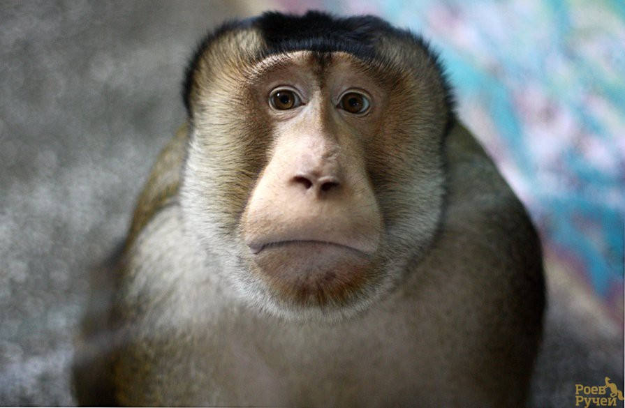 Макак-резус | описания и фото животных | некоммерческий учебно-познавательный интернет-портал зоогалактика