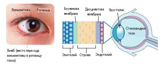 Что такое роговица глаза: строение, заболевания и их лечение