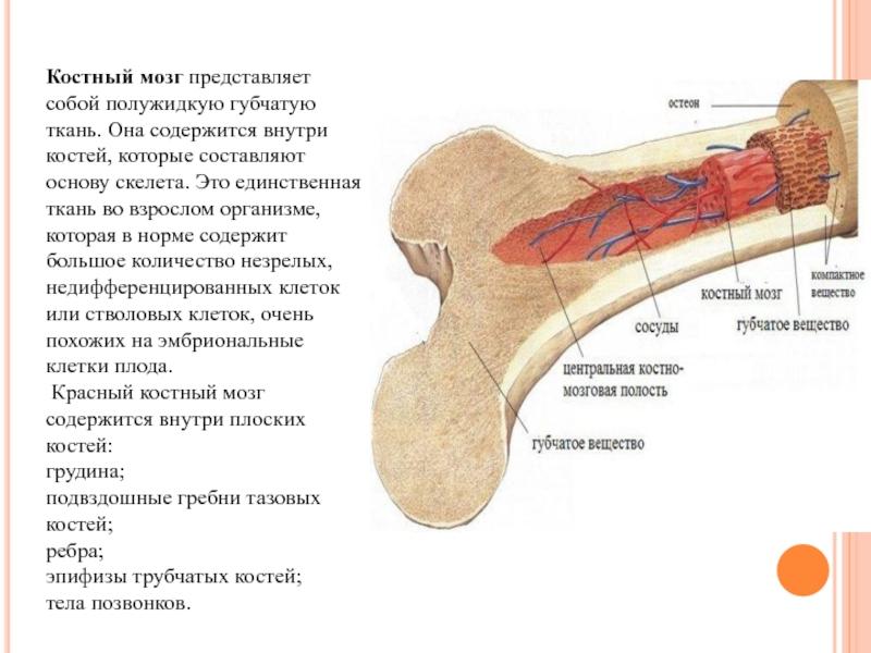 Где находится костный мозг: расположение, строение и функции