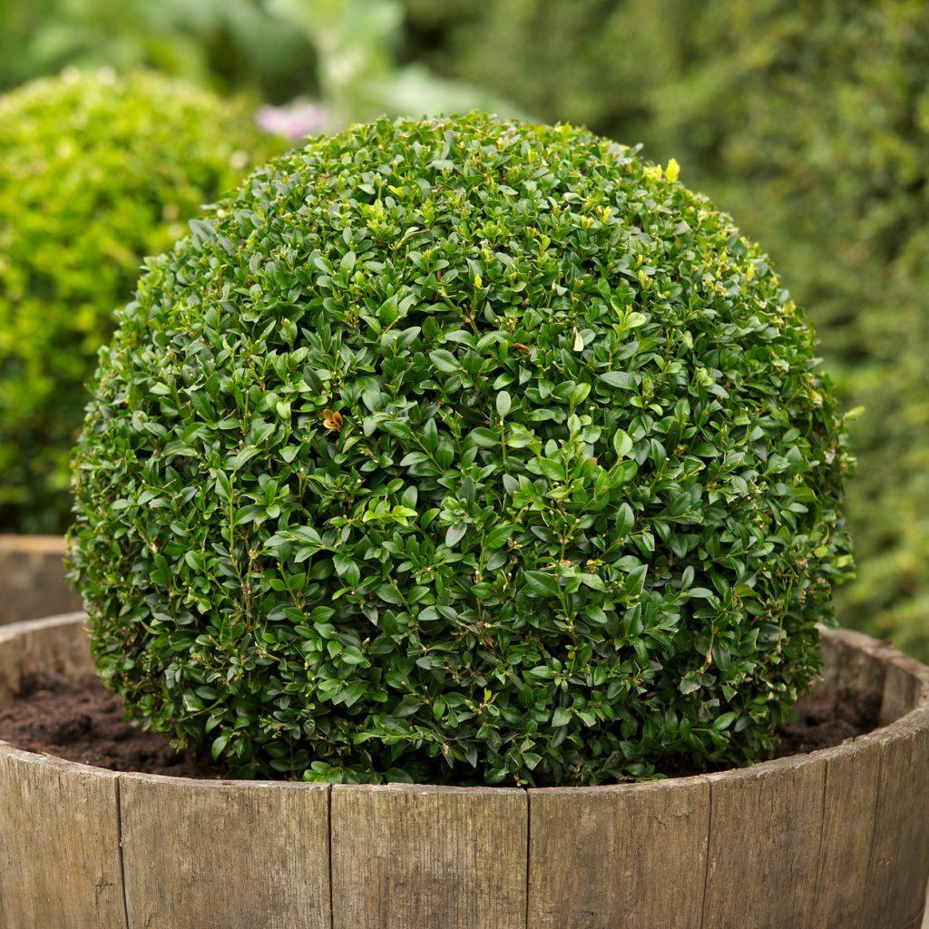 Самшит вечнозеленый (42 фото): посадка и уход, описание кустарника буксус вечнозеленый, укрытие растения на зиму