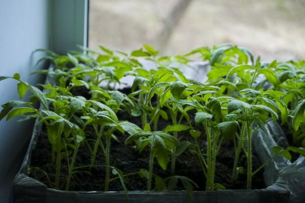 13 необычных способов выращивания рассады. какой выберете вы? | на грядке (огород.ru)