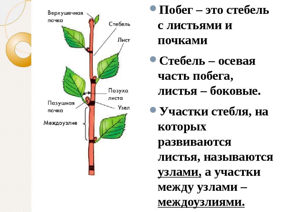 Почка растений