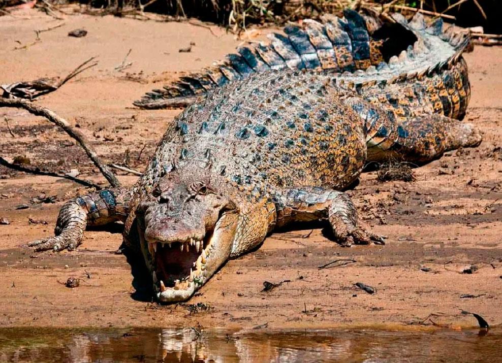 Крокодил описание. где и как живут крокодилы?