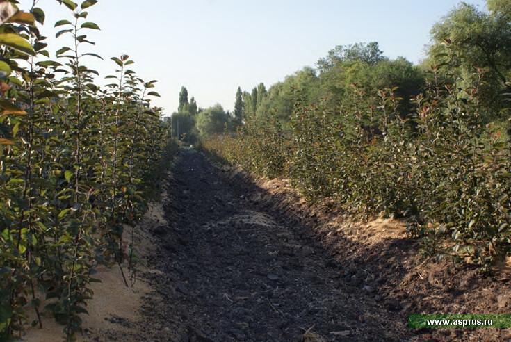 Клоновые подвои яблони: характеристика, размножение