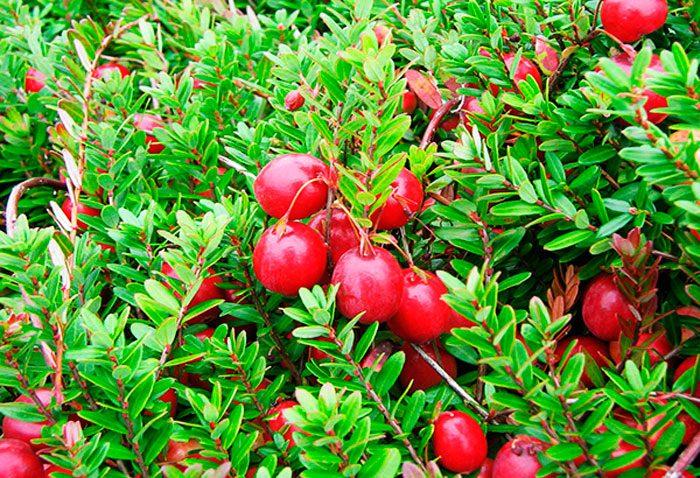 Польза клюквы: ягоды отдавления, для молодости икрасоты