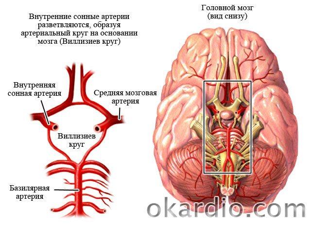 Что такое виллизиев круг – функции, анатомия и аномалии строения