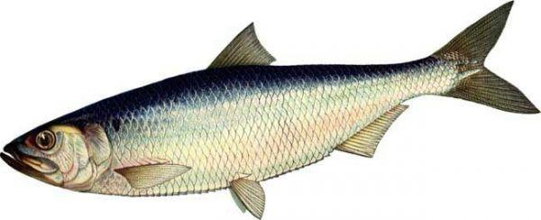 Значение слова «рыба»