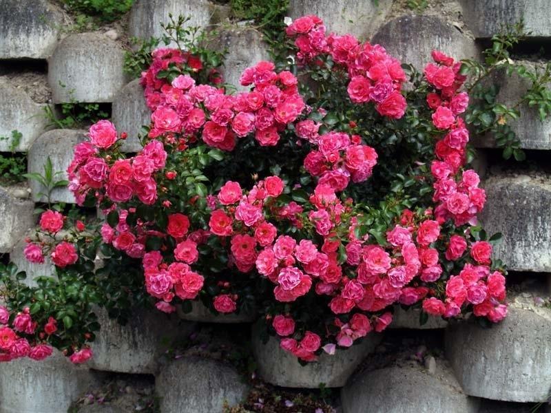 Преимущества и недостатки полиантовых роз, особенности выращивания