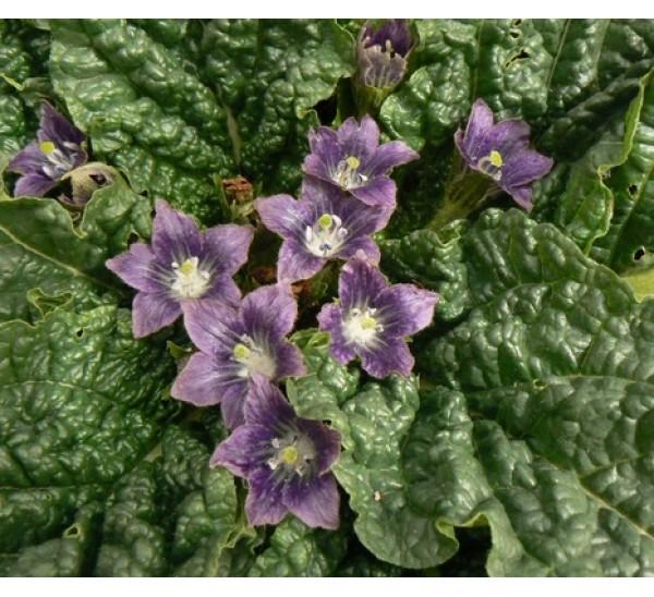 Колдовской цветок – мандрагора