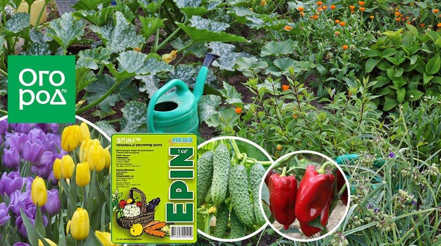 Регулятор роста растений эпин: чудо 21 века