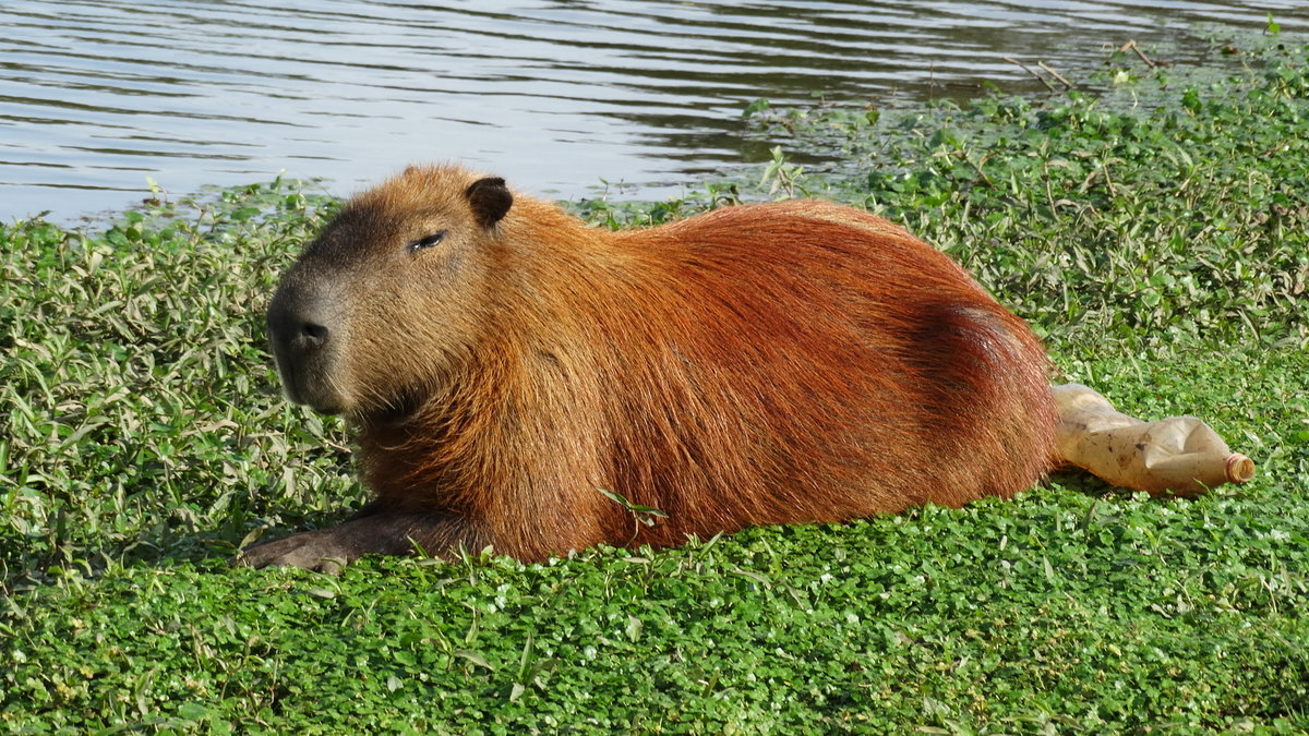 Капибара – фото животного и описание, где обитает, чем питается, интересные факты
