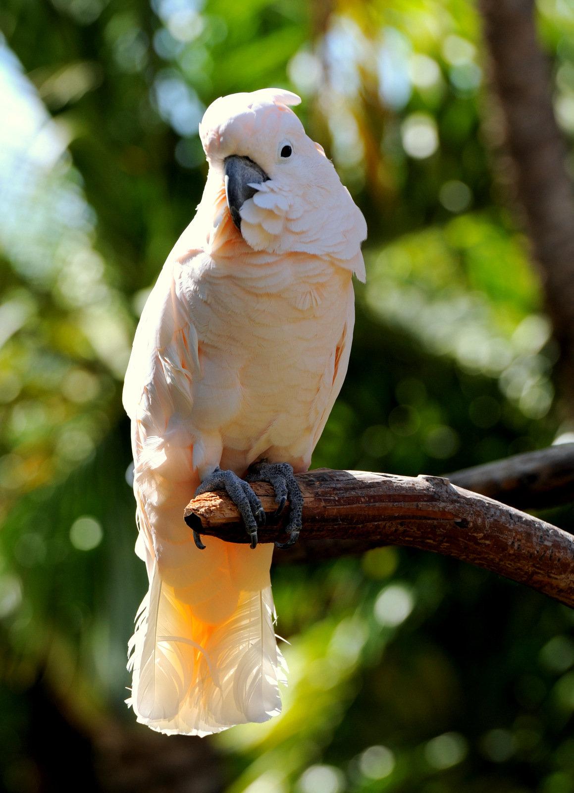 Большой желтохохлый какаду — википедия. что такое большой желтохохлый какаду