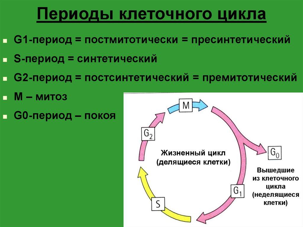 Жизненный цикл клетки: интерфаза и митоз
