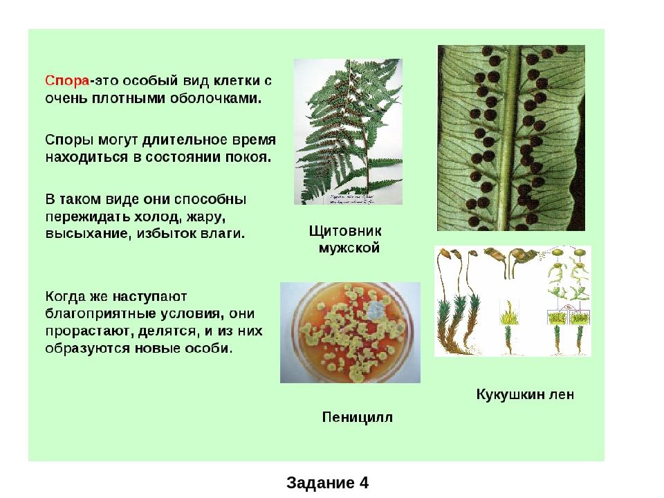 Что такое спора в биологии: определение понятия, строение и функции