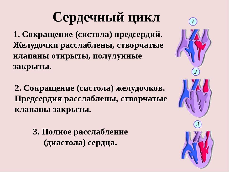 Что такое систола и диастола сердца - ососудах