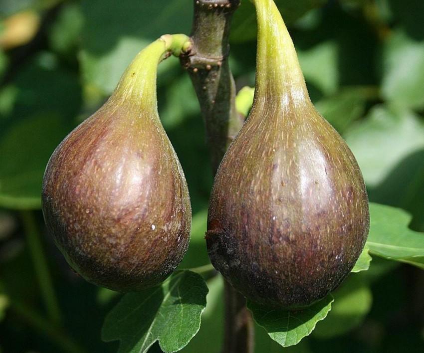 Фиговое дерево или инжир — описание, как выглядит плод - pocvetam.ru