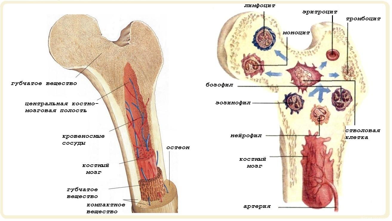 Костный мозг — большая медицинская энциклопедия