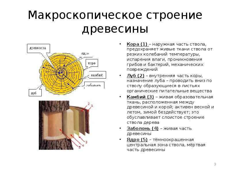 Заболонь – это основной слой древесины