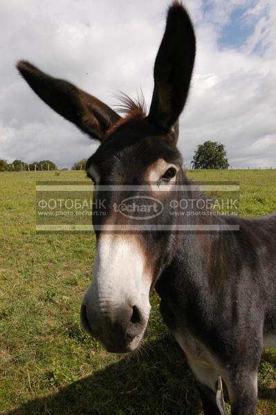 Осел домашний или ишак - характеристика животного, разведение и содержание, отличия от лошади