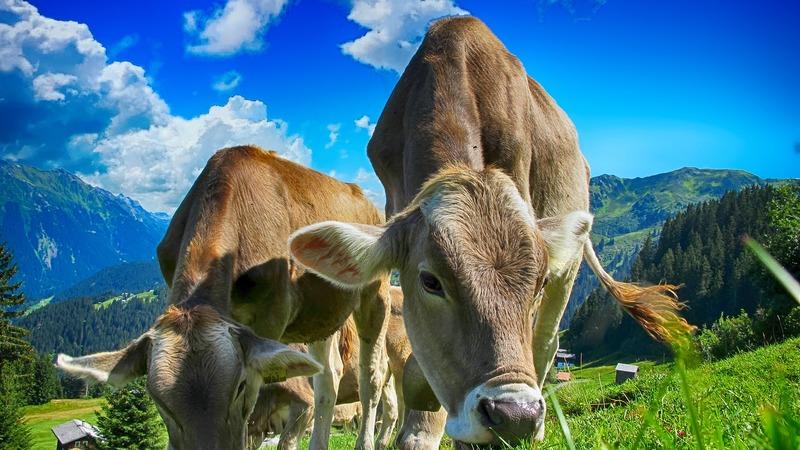 Крупный рогатый скот • большая российская энциклопедия - электронная версия