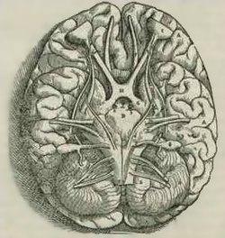 Мозжечок головного мозга