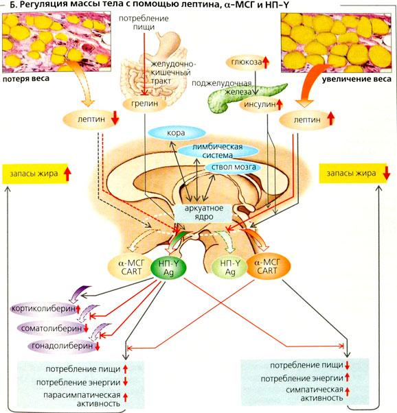 Лептин: что это, как работает, лептин и ожирение, высокие и низкие уровни, резистентность к лептину | |