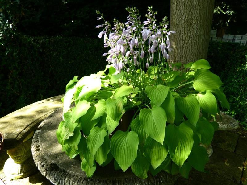Хоста: правила выращивания, посадки в открытый грунт и ухода за цветком весной, летом и осенью, фото сортов.