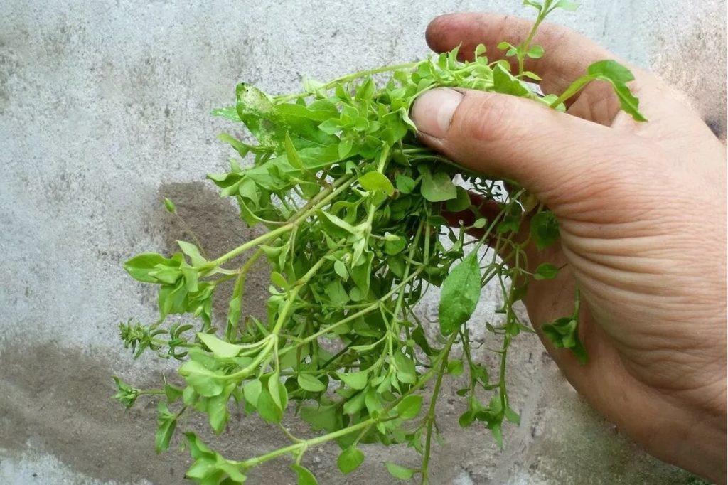 Мокрица: описание растения и лекарственные свойства